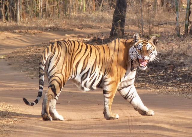 Tigre de Bengala en Bandhavgarh (India)