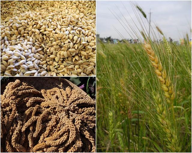 禾本科提供人類主要的糧食。攝影:廖靜蕙