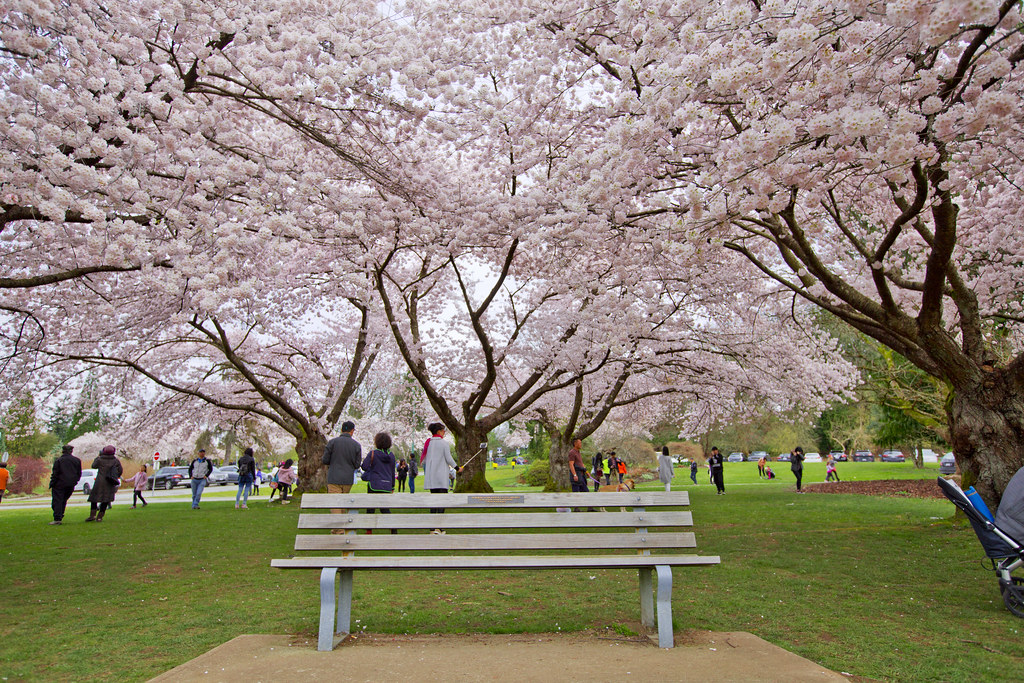 Cherry Blossoms @ Quee...