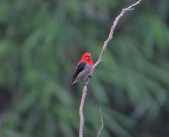 Scarlet-headed flowerpecker (dicée à tête écarlate)