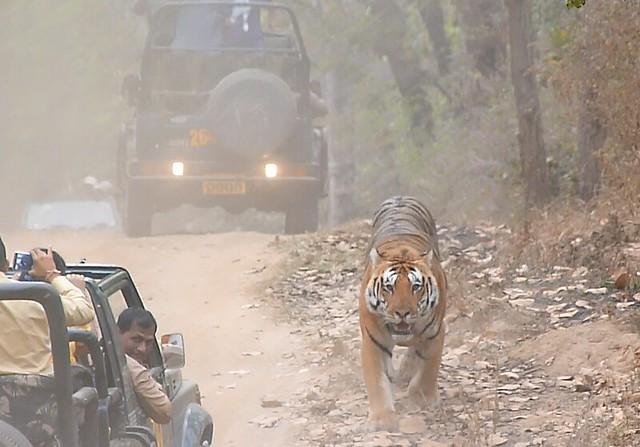 Tigre de Bengala en Kanha (India)