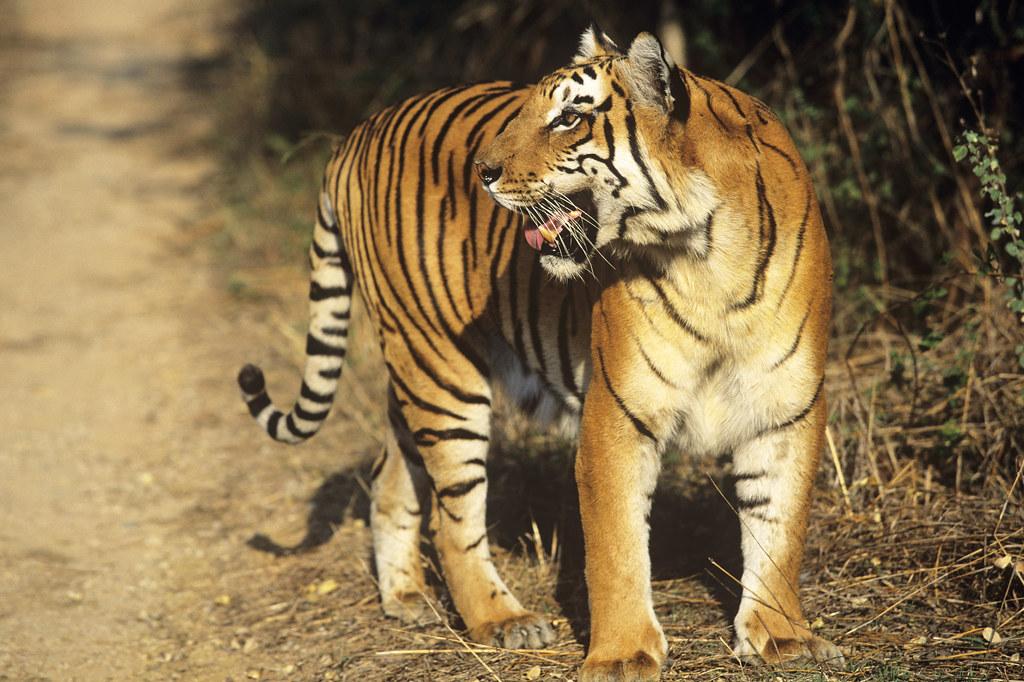 印度虎。圖片來源:WWF。