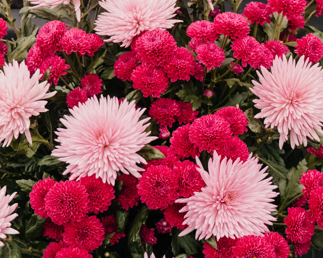 light and dark pink chrysanthemums