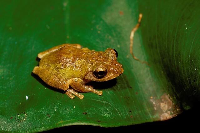 王氏樹蛙是以兩棲生物研究學者王慶讓為名。圖片來源:臺北市立大學提供。