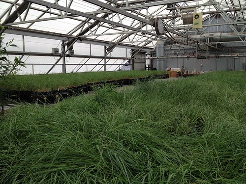 Forest Service scientists using a greenhouse in Washington State to grow bluebunch wheatgrass