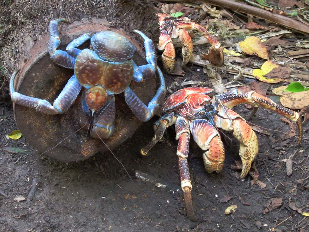 Coconut crab baby