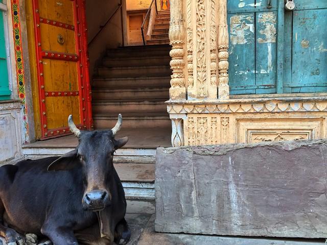 Vaca callejera en la India