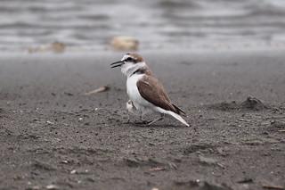 新北市八里北堤沙灘的東方環頸鴴。攝影:賴榮孝