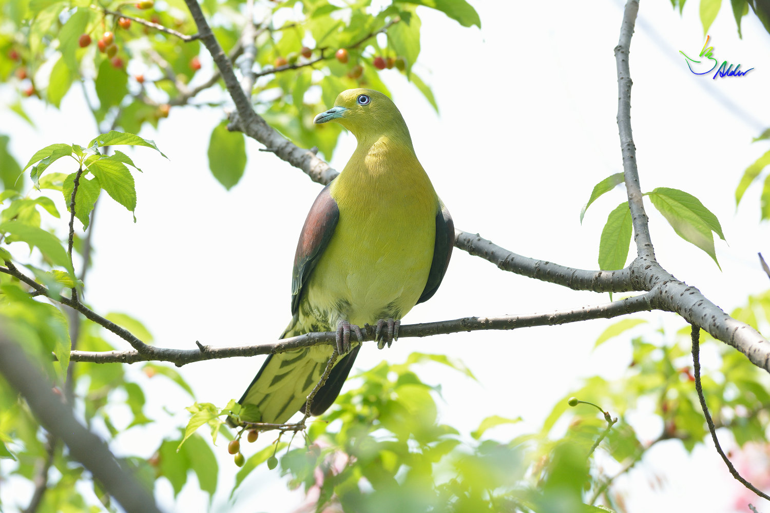 White-bellied_Green_Pigeon_5334