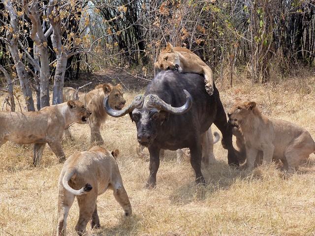 Leones cazan búfalo en Botswana