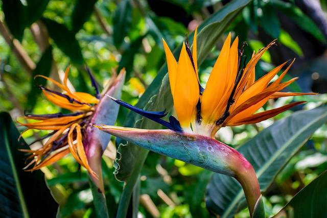 Bird of Paradise, Crane Flower, Flower, Exotic, Tropical