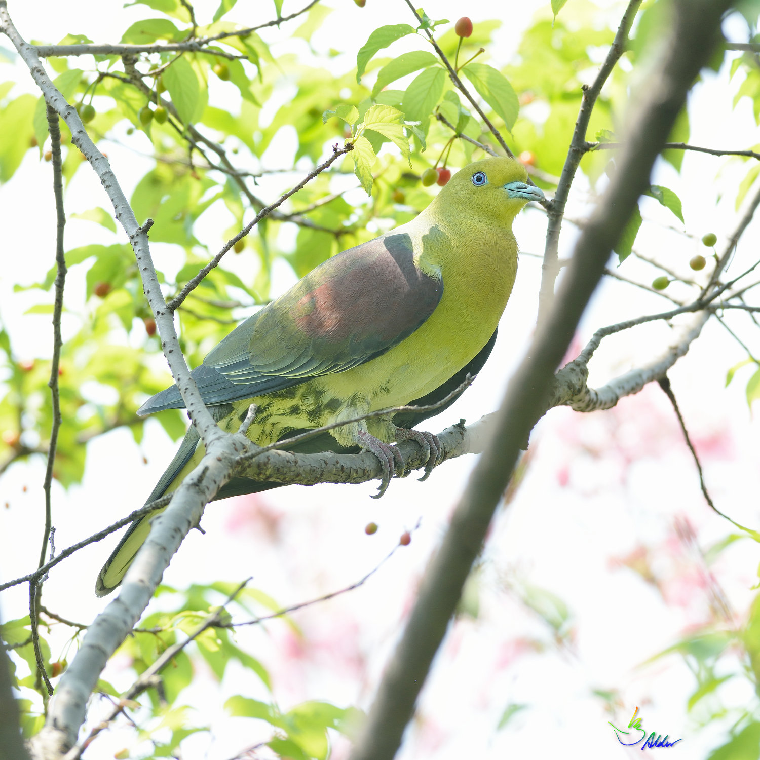 White-bellied_Green_Pigeon_5648