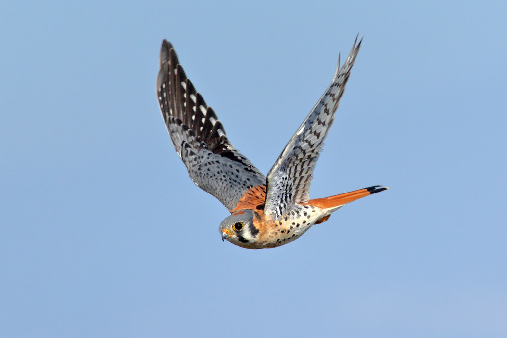 how to draw a american kestrel