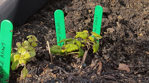 apple mint and lemon balm with green tags