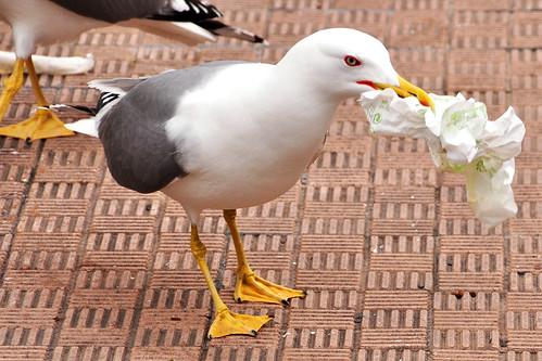 Menton (Côte d'Azur), 29. Februar 2016: Wenn schon Fastfood, dann sollte man seine leeren Tüten doch bitte ordentlich entsorgen. Diese Großmöwen, vom Geruch der Tüten magisch angezogen, lieferten sich wahre Straßenkämpfe. Jede wollte sich ein Stückchen von Tüte oder Plastikverpackung ergattern. Ich hatte richtig Angst, dass sie in ihrer Gier Papier und Folien hinunterschlucken, nur um an ein paar Pommes-Bröselchen zu kommen.