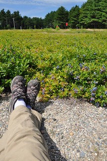 Person sitting in blueberry field, point of view.