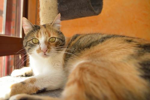 Jaspe, maravillosa tricolor de ojos cobrizos esterilizada nacida en Abril´11, necesita adopción. Valencia. ADOPTADA.  26098936392_492b254aa8