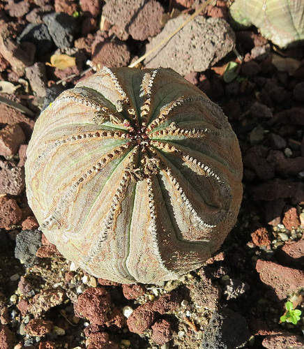 Euphorbia obesa-- the Baseball Plant