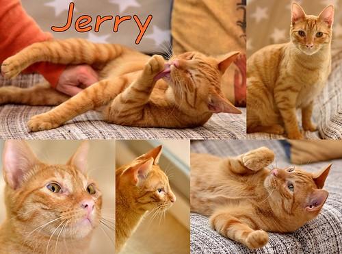 Jerry, gatito rubio guapo muy dulce y bueno, esterilizado, nacido en Abril´15 en adopción. Valencia. ADOPTADO. 23938790463_0066ca4ccb