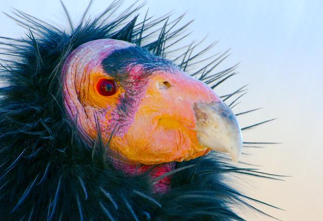California Condor (Gymnogyps californianus)_15