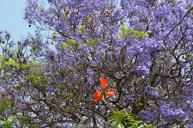 Jacaranda and tulip tree, Tenerife