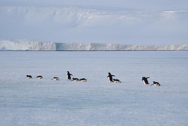 阿德利企鵝。圖片來源:Scott Ableman(CC BY-NC-ND 2.0)