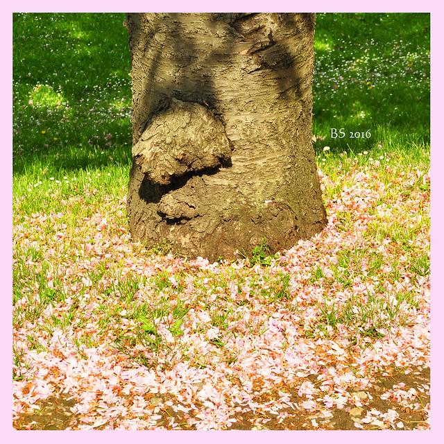 """Lieblingsfotos vom 1. Mai 2016 """"Rosafarbener Blütenschnee"""" Foto Brigitte Stolle"""