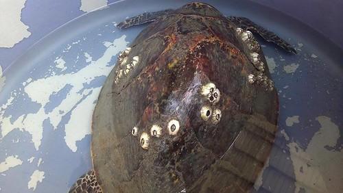 阿飛背甲上附生藤壺。圖片來源:程一駿提供