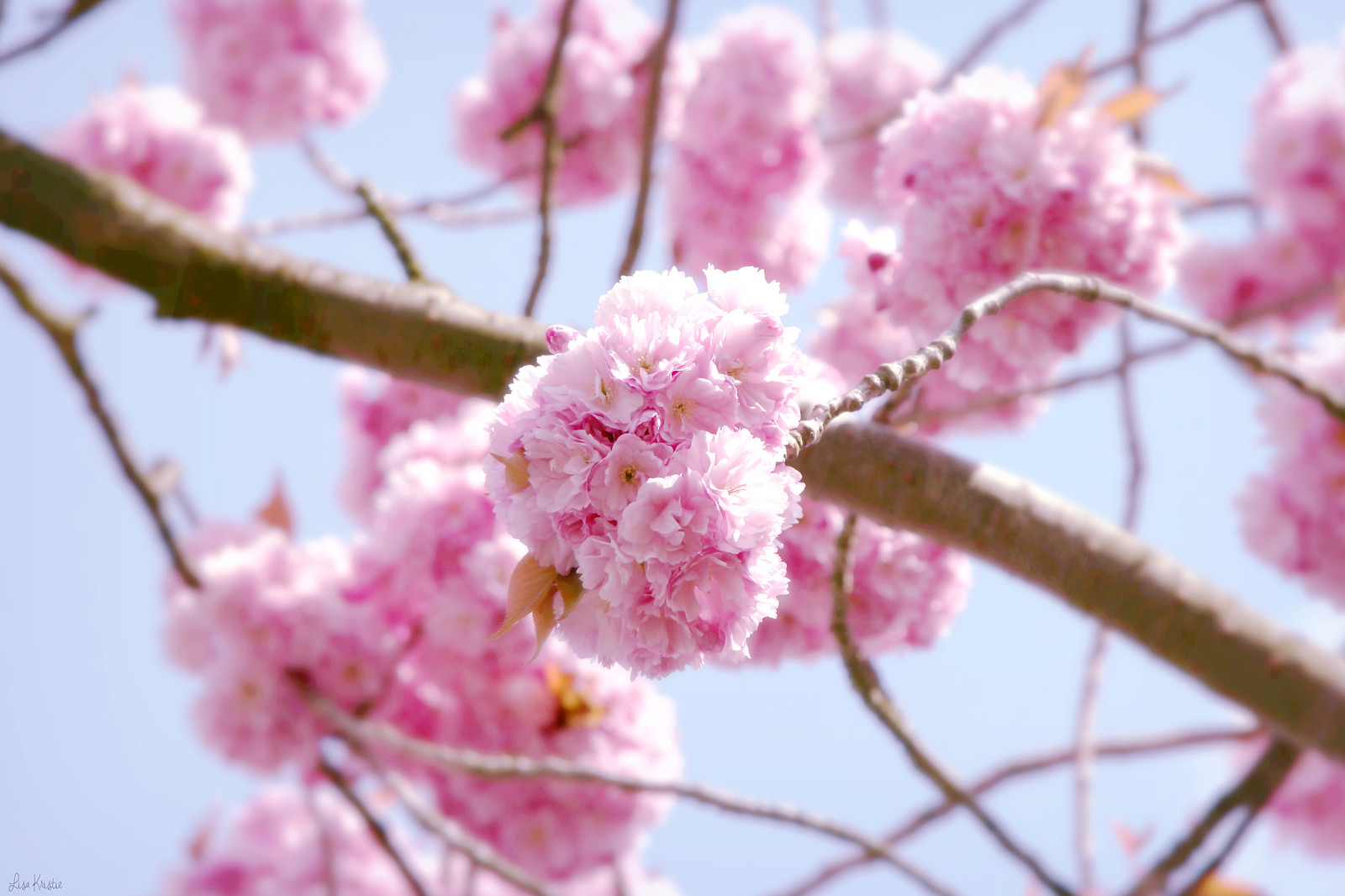 cherry blossoms flowers closeup tree pink petals beautiful spring april europe belgium branch