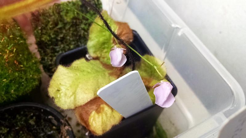 Utricularia heterosepala.