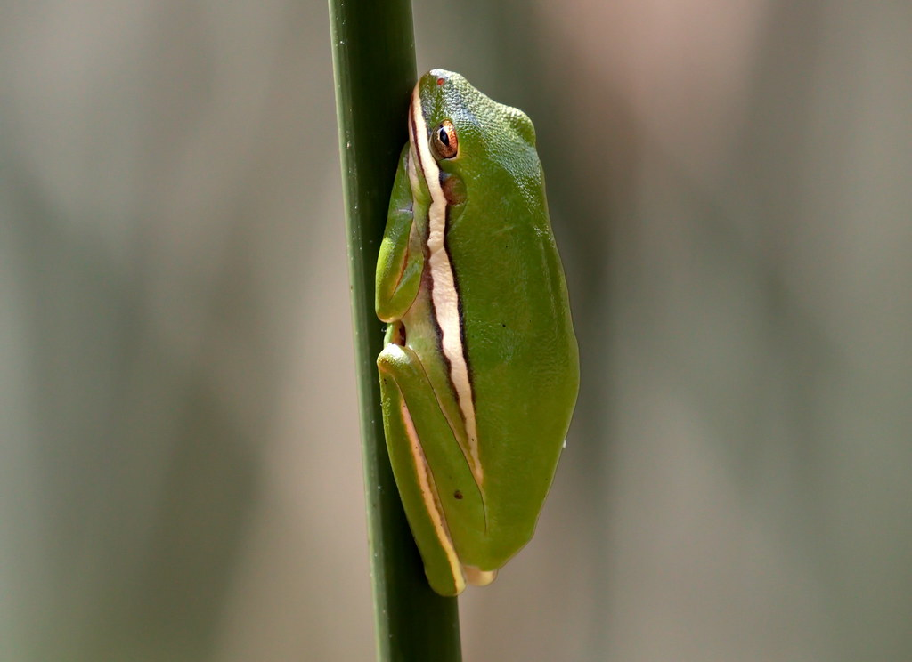 Green Frog Circle B Bar Reserve Lakeland Fl Fred