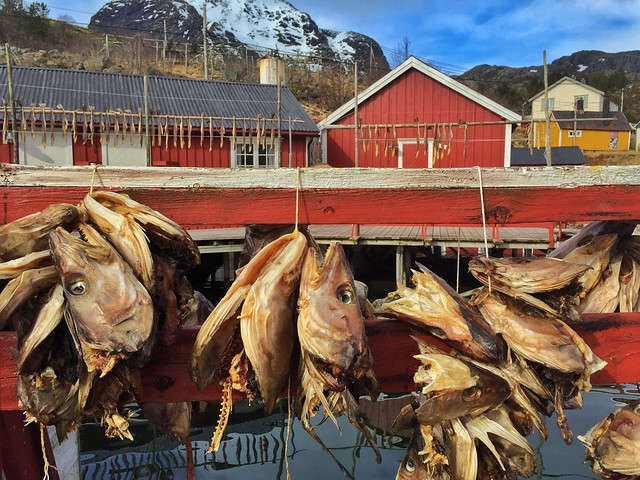 Cabezas de bacalao secándose en Nusfjord (Islas Lofoten, Noruega)