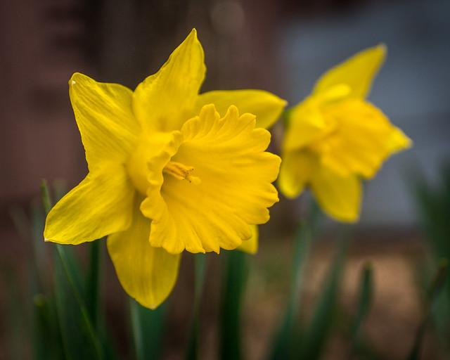 Daffodil, Daffodils, Flowers, Flower, Yellow, Spring, Macro