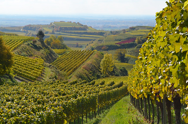 Vineyards, Ihringen, Kaiserstuhl, Germany