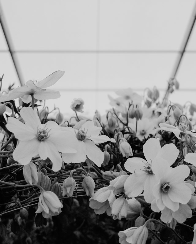 clematis in black and white