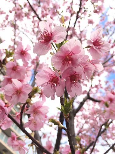河津桜 タコ公園 恵比寿 2016.2.21