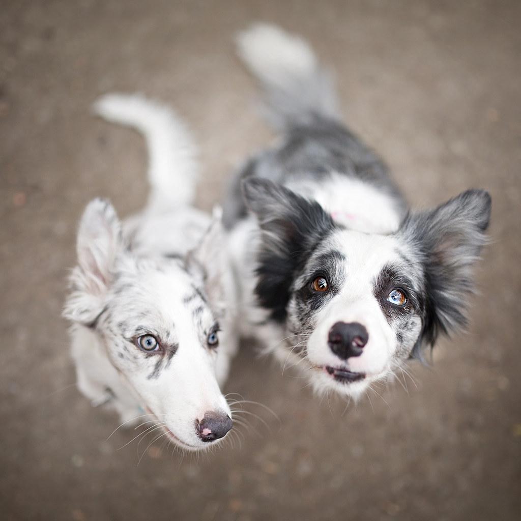 Slate Merle VS Blue Border Collie Ciri And Zoe