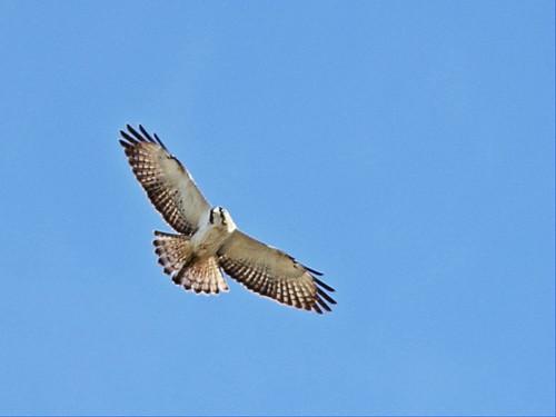 Short-tailed hawk 20160222