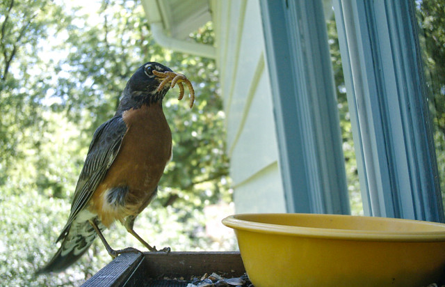 American Robin at feeder