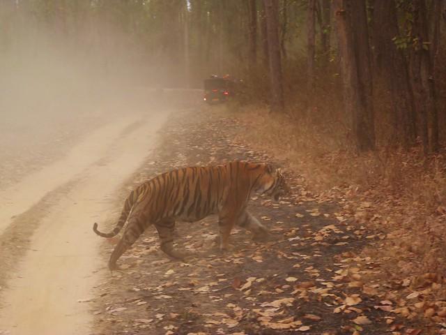 Tigre cruzando un camino en Kanha (Safari en India del Comando Piraña)