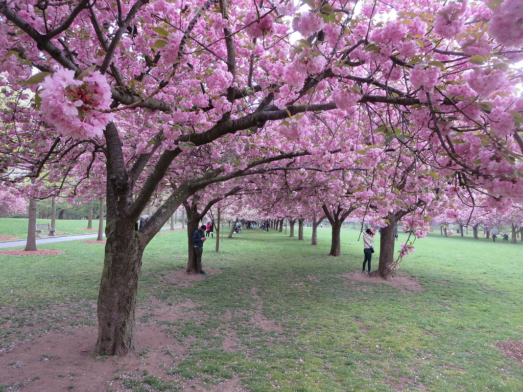 ... Cherry Esplanade Area Lined With Japanese Kanzan Pink Flowering Cherry  Blossom Trees At The Brooklyn Botanic