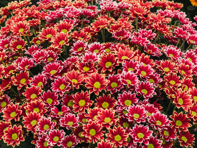 red and pink chrysanthemums