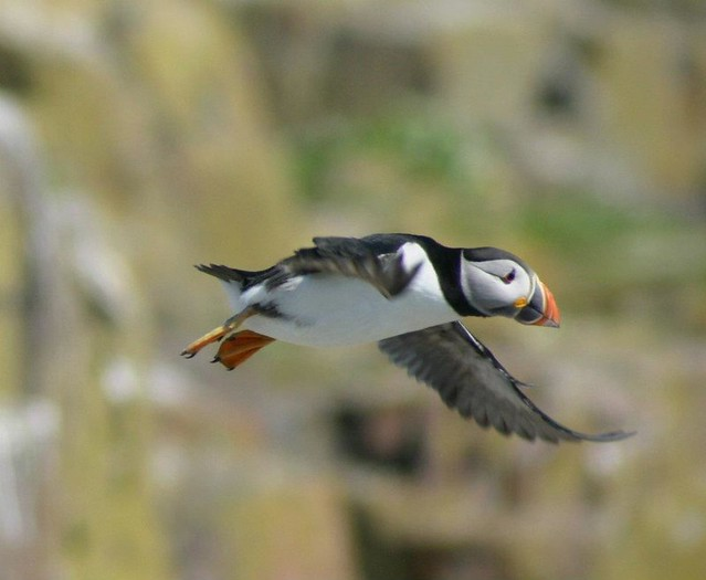 puffin farne islands boat trip