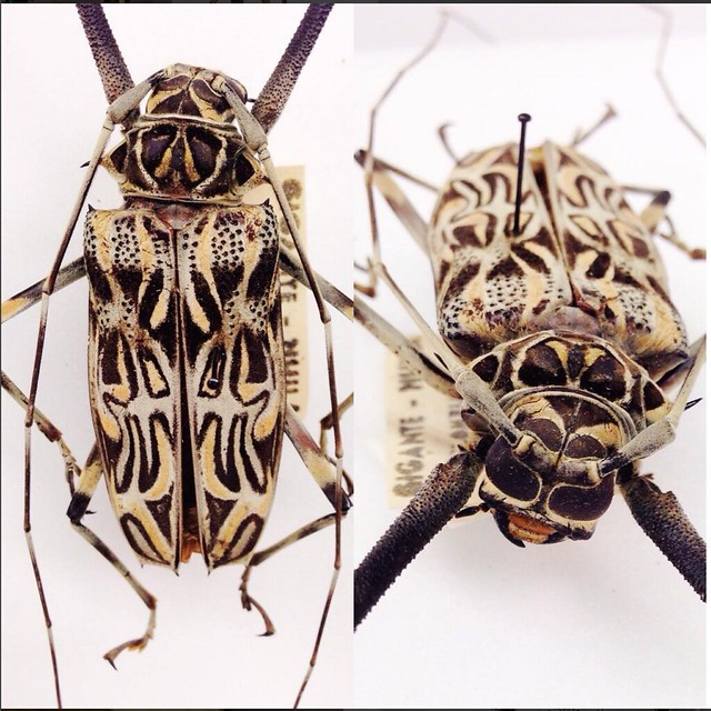 Image of a large patterned beetle