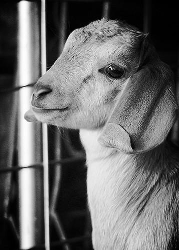 IMG 1140 Baby Goats