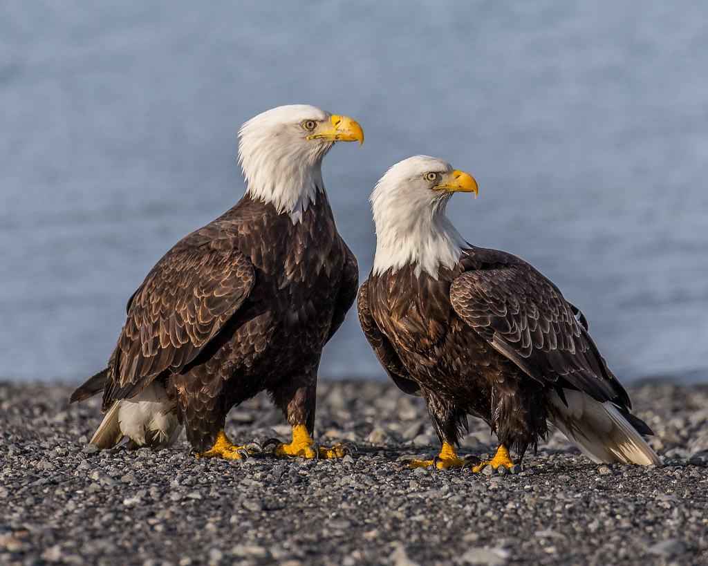 Sexual Dimorphism In Bald Eagles  As With Most Raptors -8727