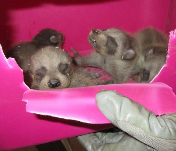 blind raccoons in a diaper box