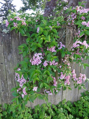 Image shows a sheet of green leaves and clusters of small pink flowers spilling over a gray wooden fence.