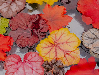 colourful leaves at rhs cardiff