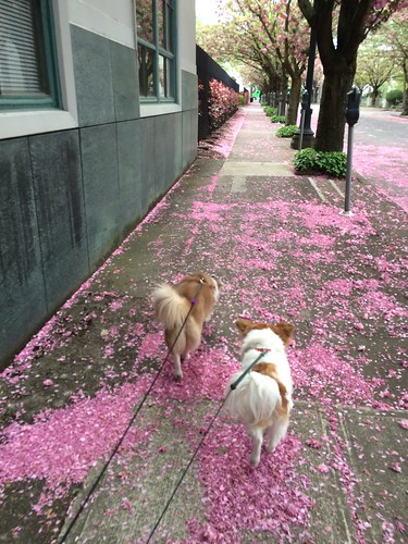 Two dogs facing away from the camera, walking on pink flower petals from the trees above.